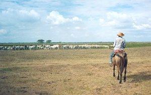 Hato de ganado en el Apure